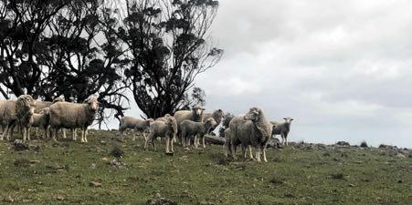 Gongylonemiasis merino ewes